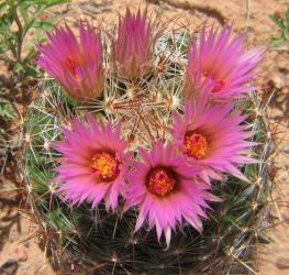 Cs nipple cactus spinystar escobaria vivipara a 5 mightylinksfo