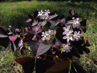 Pr tube oxalis purple shamrock oxalis regnellii atropurpurea 2 mightylinksfo