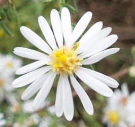 ww daisy aster, Beautiful flower