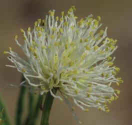 Illinois Bundle-flower, Desmanthus illinoensis (13)