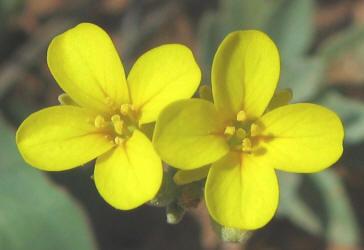 Yo 4 mustard bladderpod lesquerella gracelis 2 mightylinksfo