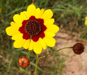 Yo daisy round plains coreopsis coreopsis tinctoria 4 mightylinksfo