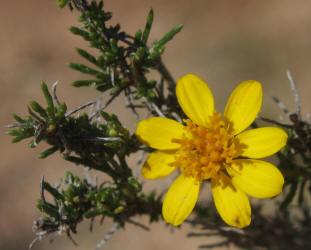 Yo daisy conifer thymophylla acerosa 8 pricklyleaf dogweed thymophylla acerosa 7 mightylinksfo