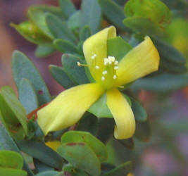 Yo 4 misc st andrews cross hypericum hypericoides mightylinksfo