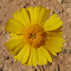 Yo daisy flat round yellow daisy tetraneuris scaposa 4 mightylinksfo