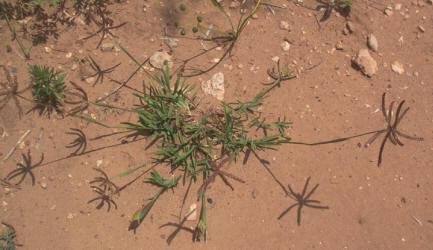 grass chloridoideae cynodonteae windmillgrass