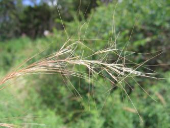 Grass Aristidoideae Aristideae