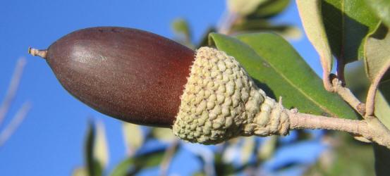 Quercus laurifolia acorn