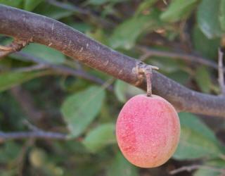 Ts Fruit Rose